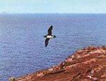 Arminjon stormvogel